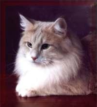Amber Kitten
